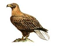 Орлан белохвост (6.02 Kb)