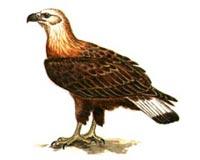 Орлан долгохвост (5.58 Kb)