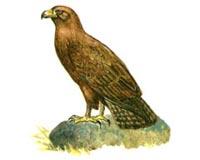 Орел степной (5.19 Kb)