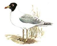 Хохотун черноголовый (5.15 Kb)