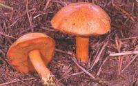 Горный Алтай: Перечный гриб (41.37 Kb)