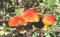 Горный Алтай: Гигроцибе логкноконическая (47.85 Kb)