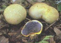 Горный Алтай: Ложнодождевик обыкновенный (41.01 Kb)
