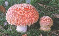 Горный Алтай: Мухомор красный (47.67 Kb)