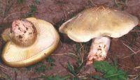 Горный Алтай: Рядовка мыльная (33.47 Kb)
