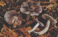 Горный Алтай: Рядовка серо-фиолетовая (32.79 Kb)