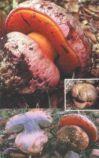 Горный Алтай: Сатанинский гриб (95.01 Kb)