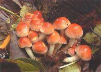 Горный Алтай: Ложноопенок кирпично-красный (37.11 Kb)
